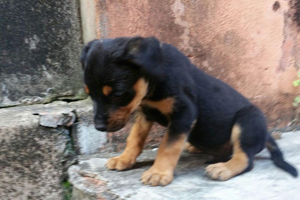 Rottweilers (puppies)