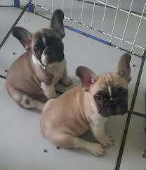 Bulldogs françês crias a venda