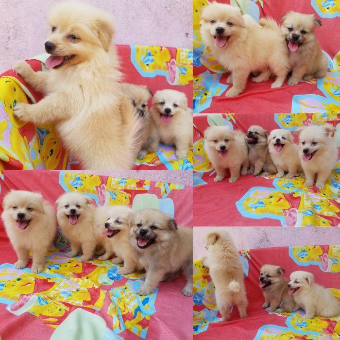 Lulu da pomeranea Spitz anão cães para apartamento miniaturas