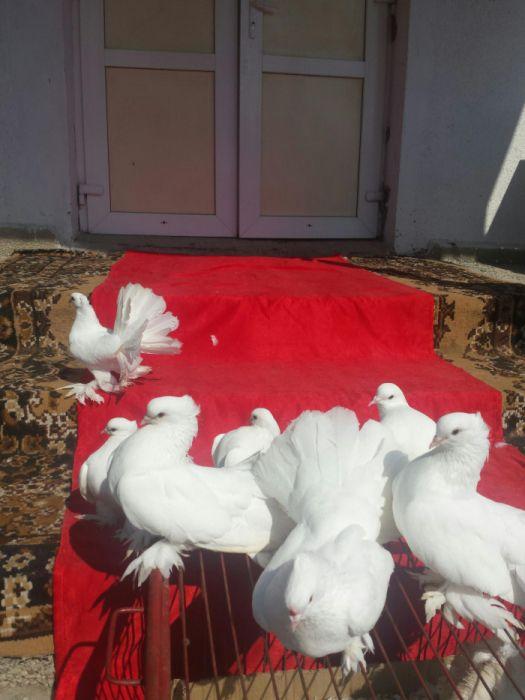 Porumbei albi borzesti oneşti bacau