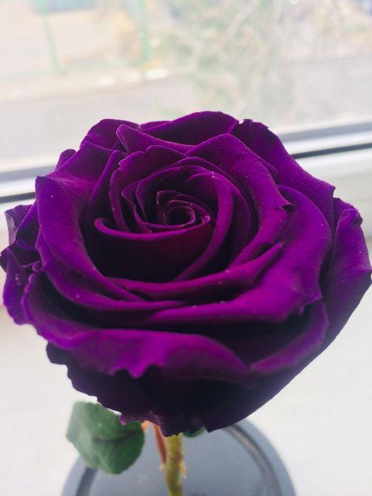 Mov trandafir Criogenat