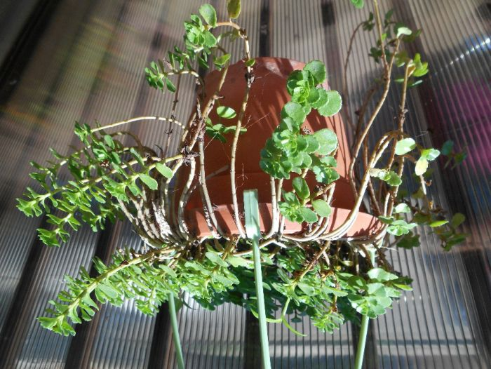 Floare planta suculenta ( sau sedum avem si pui )