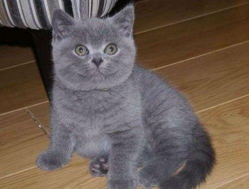 Pui de pisica british shorthair blue Oradea - imagine 2