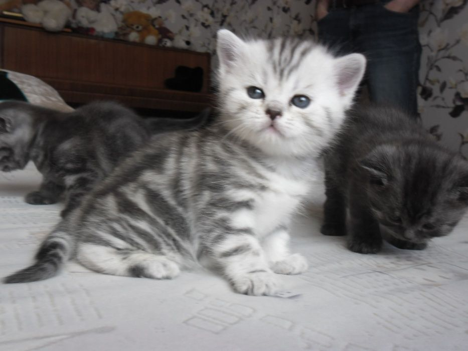 Котята британцы.