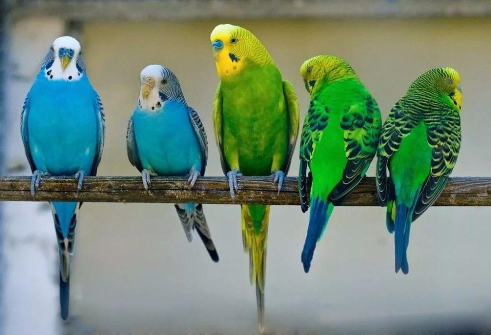 Все про волнистых попугаев картинки