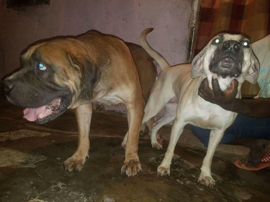 Bons cães de guarda raça Boerboel