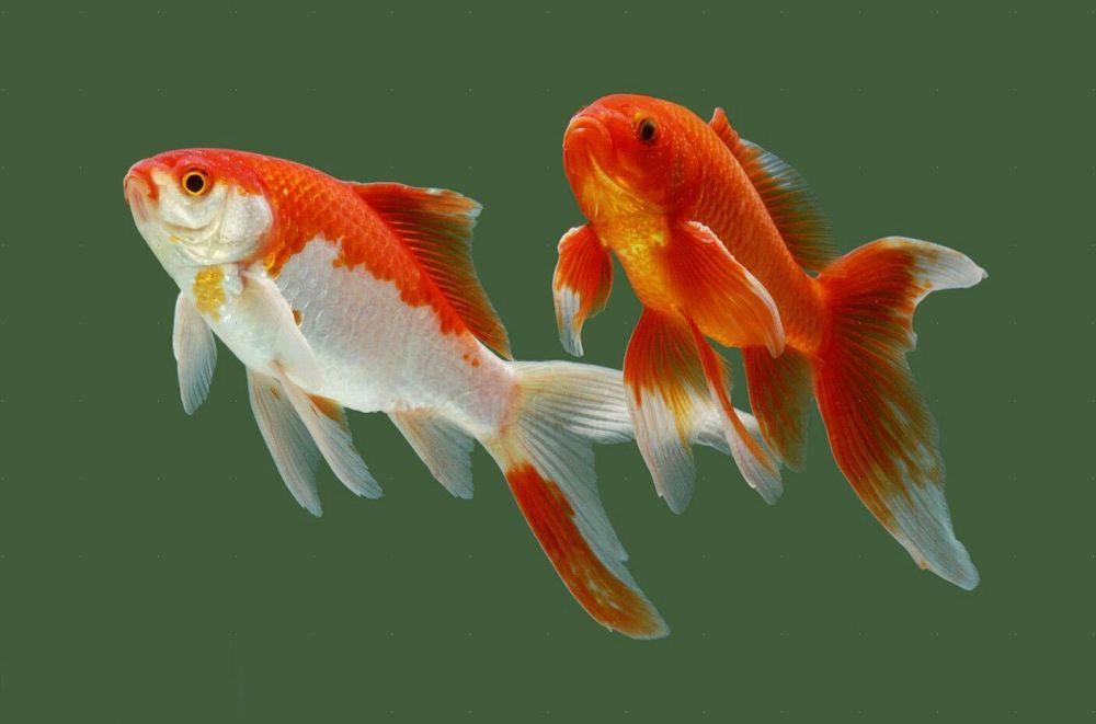 "Комета.""Афалина""рыба для пруда"