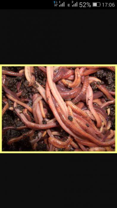 Полосатый червь
