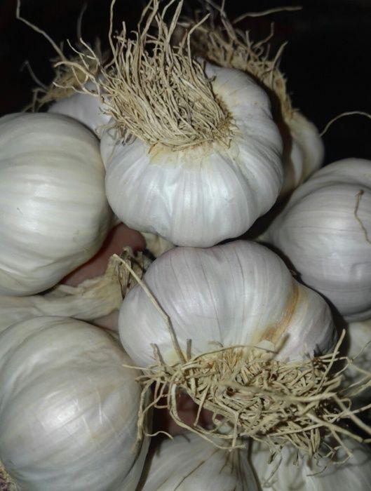 Sămânță de usturoi romanesc ,BIO din Copalau si arpagic