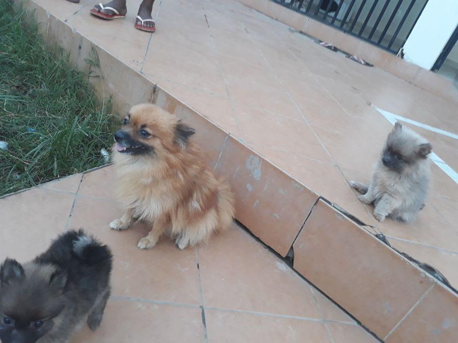 um casal de cachorros de 2 meses Cidade de Matola - imagem 1