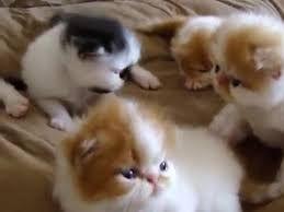 Crias de Gatos persa a venda