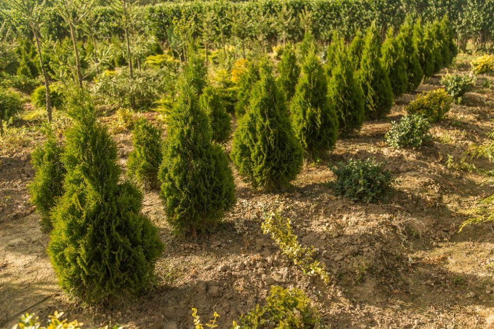 Pepiniera vindem arbori si arbusti ornamentali (TUIA, GARD VIU)