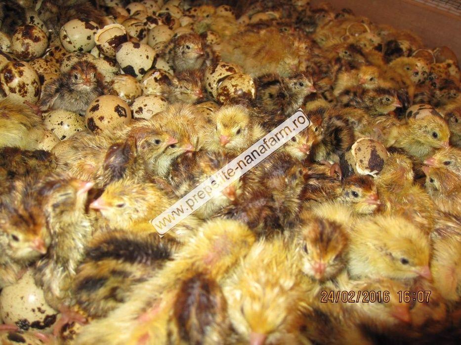Oua pentru incubat prepelite ouatoare/mixte/carne