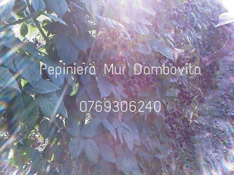 Pepiniera Mur Dambovita - Vânzare 2018