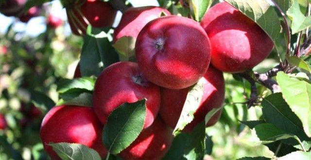Puieti de pomi fructiferi-