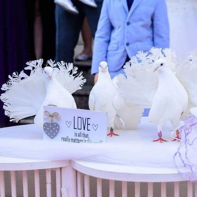 Porumbei albi pentru nunta!