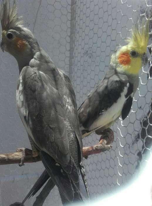 Mini papagaio cockatiel casal