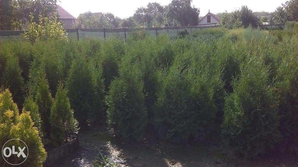 Tuia Arbusti ornamentali ( sau pentru garduri vii)