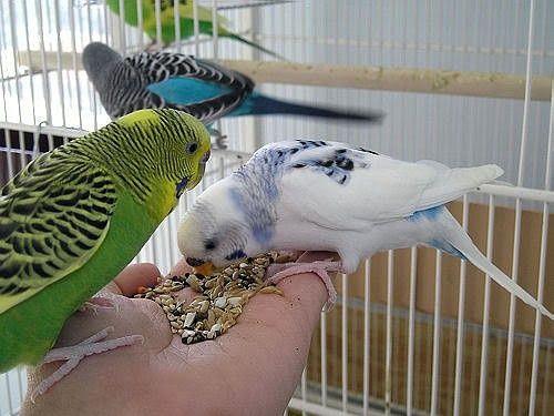 Весовой корм для Волнистых попугая