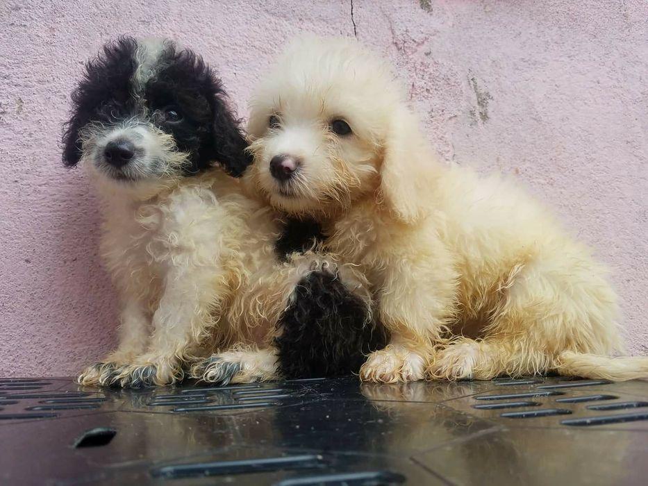 Caniches (só ficaram estes dois!)