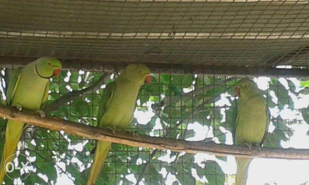 Попугаи молодые ожереловые