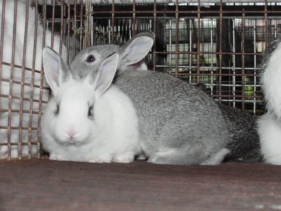 Coelhos *Rabbits*