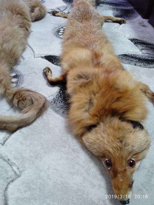 Лисица и яка гр. Варна - image 2