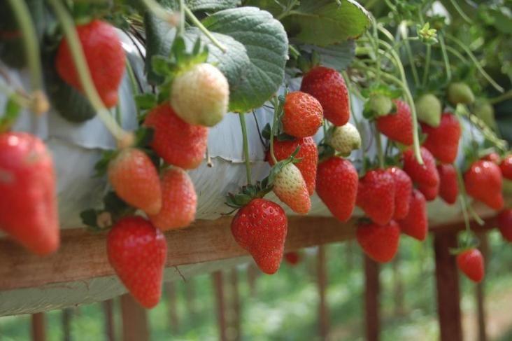 6 Mudas de Morango+Saco para Cultivo (Slab) incluindo nutrientes -Fert