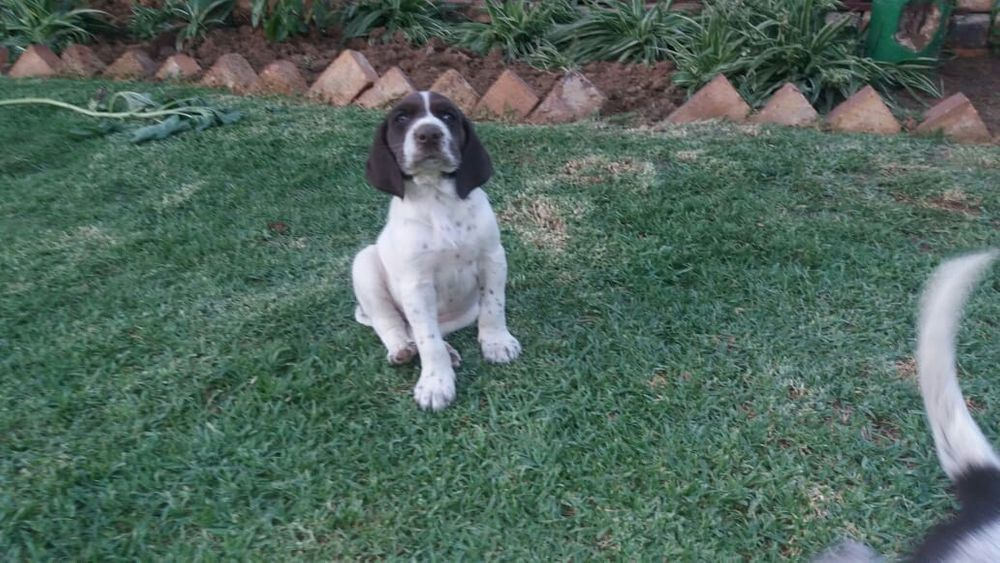 German Shorthaired Pointers(global pets)
