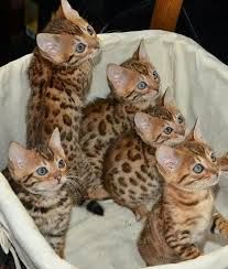 Crias de Gatinhos bengal a venda