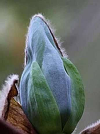 Магнолия (Blue opal)-Син Опал гр. Павликени - image 2