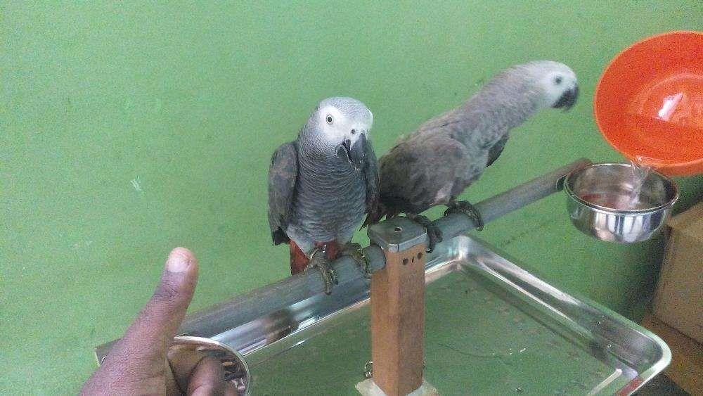 Papagaio jaco
