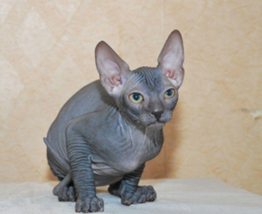 Замечательные донские сфинксы котята