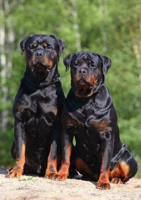 Cães de raça