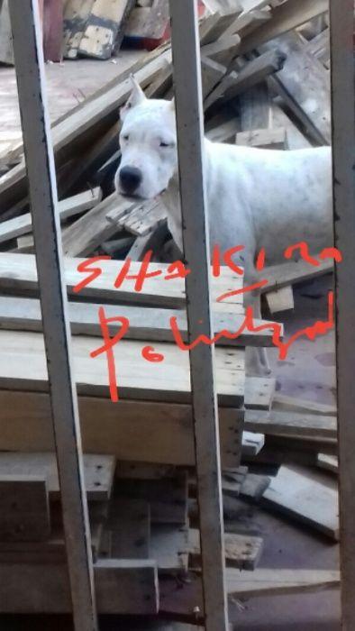 Dogo Argentino fêmea a venda