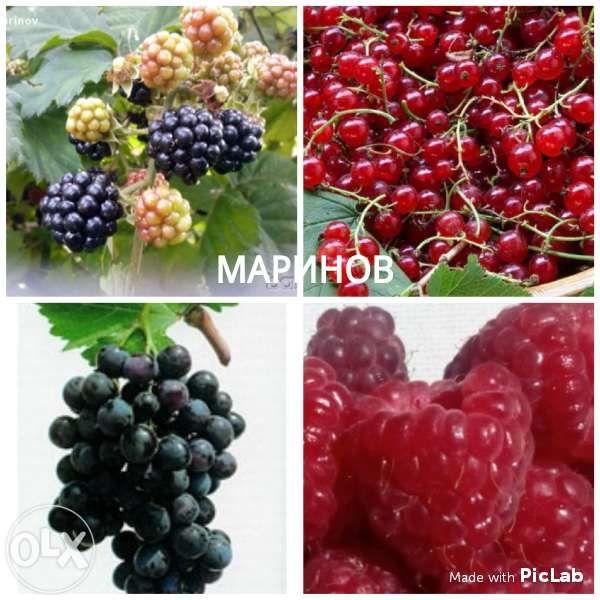 Къпина, Касис, Арония, Малини, Годжи Бери, Молдовско грозде, Смокиня
