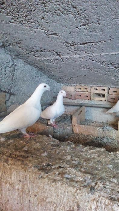 Немски изложбени гълъби