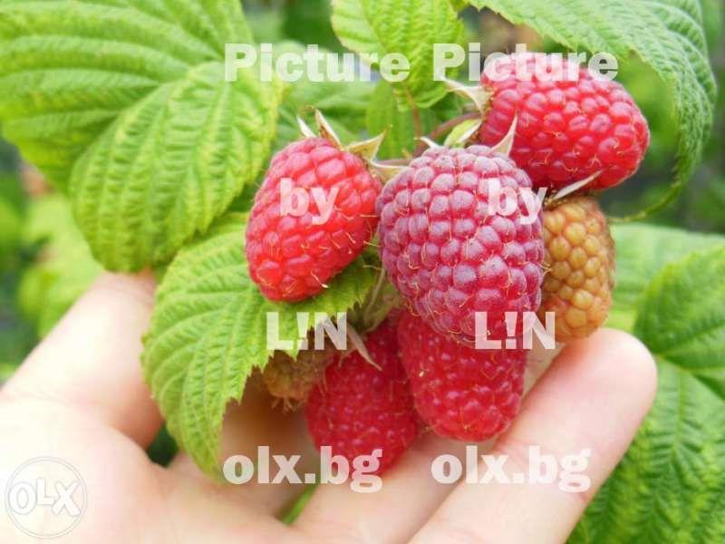 Плододайни храсти - едри малини, къпини, касис, диви ягоди, ананас
