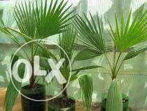 Seminte palmier
