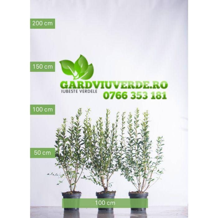 Plante ornamentale pentru gard viu verde