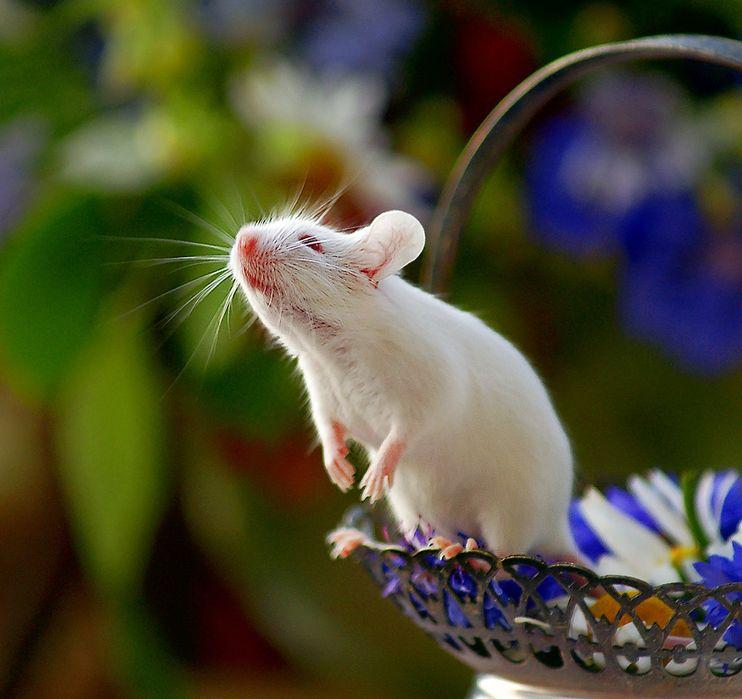 Декоративные мыши .(цвет - белый).