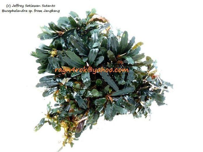 Bucephalandra sp.Jang Kang