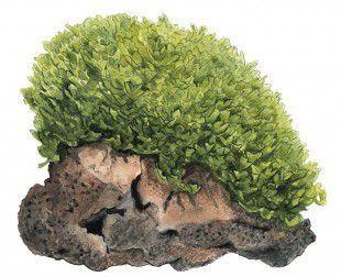 продам мох моносолениум тенерум