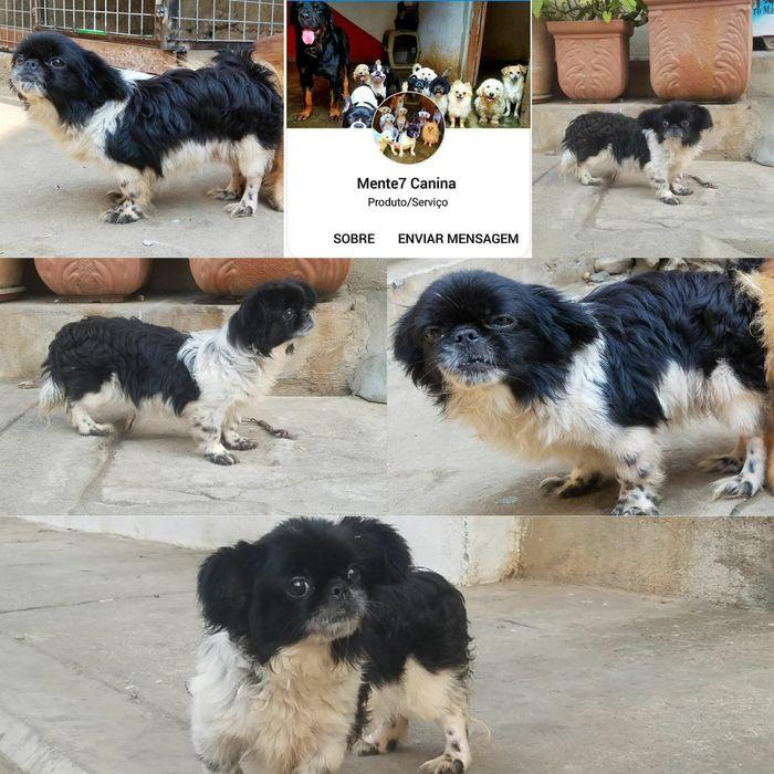 Fêmea de Piknes. Cão de companhia cão mini