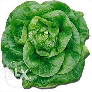 Rasaduri de salata verde