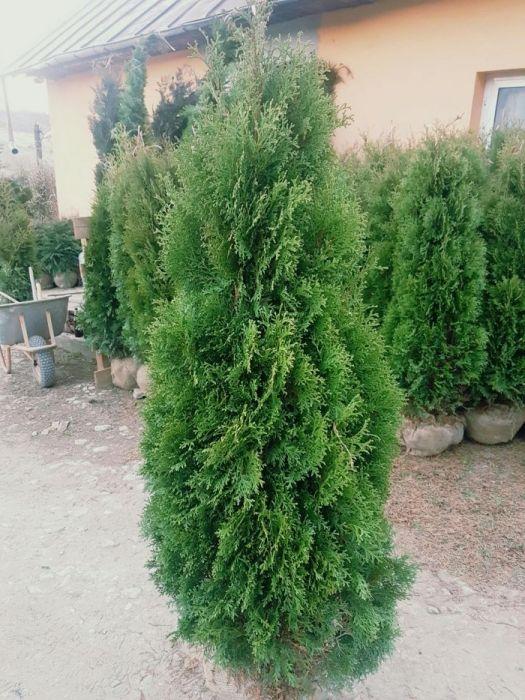 Tuia 1,5m - 1,7m / thuja occidentalis columnaris si smaragd.( Smarald
