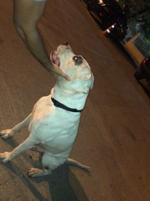 Dogo Argentino(puro) disponível para cruzamentos