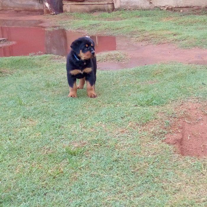 A venda Rottweiler
