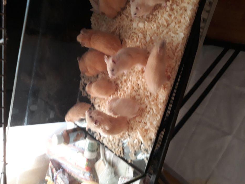 Hamsteri sirieni