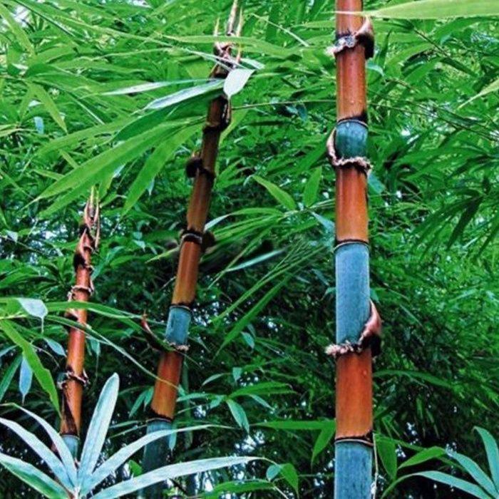 100 броя семена от Декоративен бамбук Moso-Bamboo, лилав зелен цветен